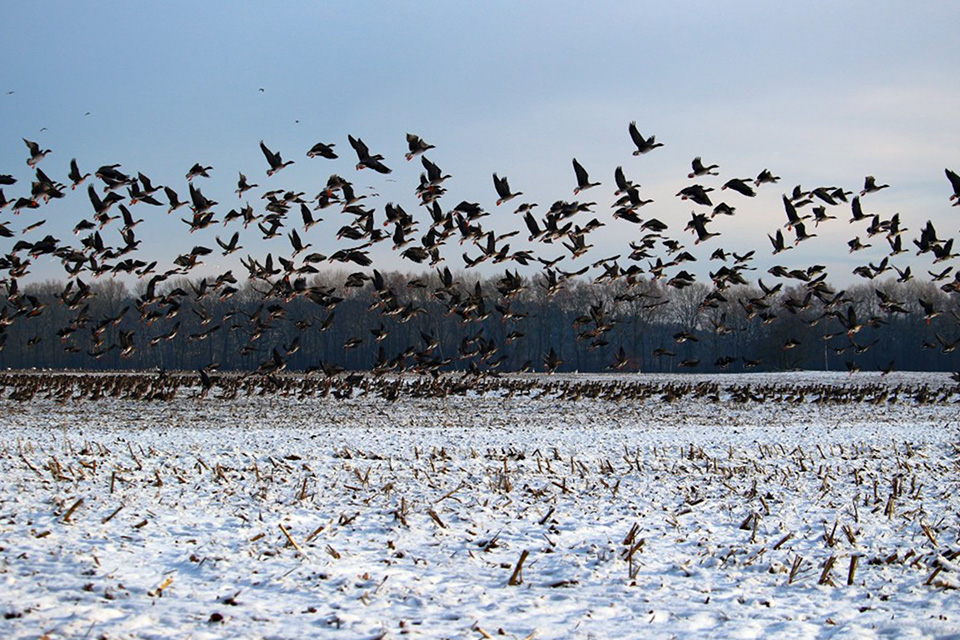 goose swarm